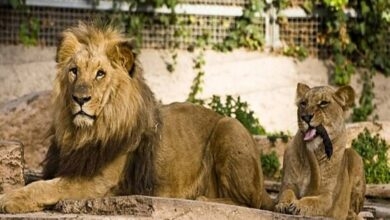 Photo of Four Lions Diagnosed with Corona Virus at Barcelona Zoo